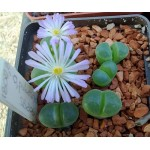 Conophytum pubescens SB806
