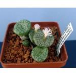 Посев conophytum  ноябрь 2013