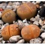 LITHOPS olivacea nebrown