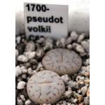 LITHOPS pseudotruncatella ssp volkii C69