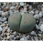 LITHOPS villetii C194
