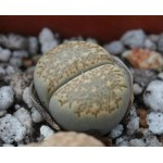 LITHOPS villetii kennedyi C123