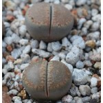 LITHOPS villetii kennedyi C197