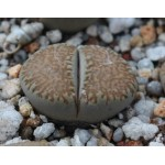 LITHOPS villetii kennedyi C199