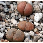 LITHOPS villetii  kennedyi C228