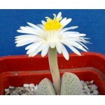 Dinteranthus microspermus White fl 90 %