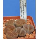 LITHOPS aucampiae ssp euniceae C48