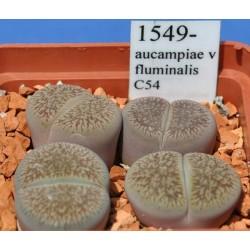 LITHOPS aucampiae v fluminalis C54