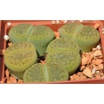 LITHOPS  aucampiae Jackson's Jade C395A