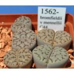 LITHOPS bromfieldii v mennellii C44