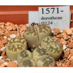 LITHOPS dorotheae C124