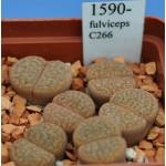 LITHOPS fulviceps C266