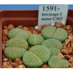 LITHOPS fulviceps f. aurea C363