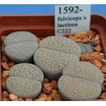 LITHOPS fulviceps v lactinea C222
