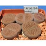 LITHOPS hookeri 'vermiculate'