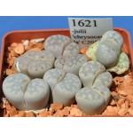 LITHOPS julii 'chrysocephala' C205