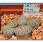 LITHOPS julii ssp fulleri C121