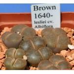 LITHOPS lesliei cv. Albiflora C5A brown