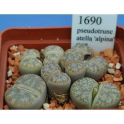 LITHOPS pseudotruncatella 'alpina' C68