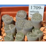 LITHOPS salicola 'maculate' C86