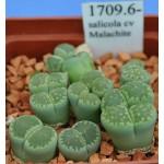LITHOPS salicola cv Malachite