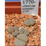 LITHOPS villetii ssp kennedyi C197