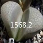 LITHOPS divergens C269