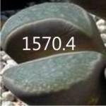 LITHOPS divergens v amethystina C356