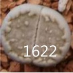 LITHOPS julii 'fuscous'