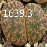 LITHOPS lesliei C352