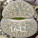 LITHOPS lesliei 'grey' C151