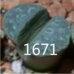 LITHOPS meyeri C212