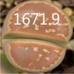 LITHOPS olivacea v nebrownii