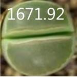 LITHOPS olivacea Achab