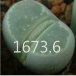 LITHOPS olivacea SB1998