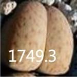 LITHOPS vallismariae C296