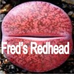 LITHOPS lesliei 'Fred´s Redhead'