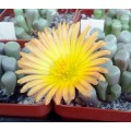 Fenestraria rhopalophylla ssp aurantiaca 'Fireworth'