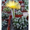 Fenestraria  rhopalophylla ssp aurantiaca