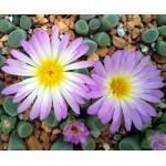 Frithia pulchra jewel